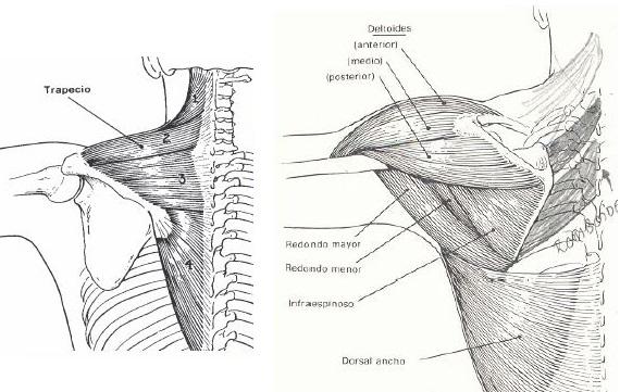 Abducción Hombro Músculos