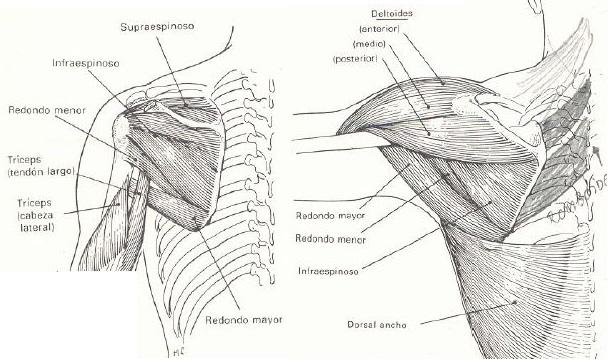 Adducción Hombro Músculos